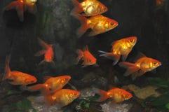 Fish. In the aquarium Stock Photo