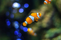 Fish aquarium. The fish in aquarium is beautiful Royalty Free Stock Photos