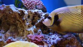 Fish in an aquarium stock video footage