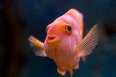 Fish in the aquarium. Beautiful exotic fish in a home aquarium Stock Photography