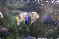 Fish in an aquarium. Blue fish in an aquarium stock images
