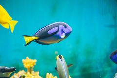 Fish in the aquarium. Blue fish in the aquarium close up Stock Photos