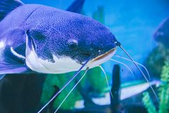 Fish in the aquarium. Blue fish in the aquarium close up Royalty Free Stock Photos