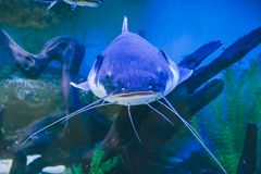 Fish in the aquarium. Blue fish in the aquarium close up Stock Photography
