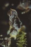 Fish in aquarium Stock Image