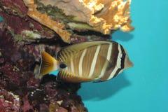 Fish in aquarium. Exotic Sailfin Tang  fish in Aquarium (Zebrasoma veliferum Royalty Free Stock Photos