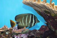 Fish in aquarium. Exotic Sailfin Tang  fish in Aquarium (Zebrasoma veliferum Stock Image
