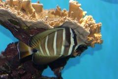 Fish in aquarium. Exotic Sailfin Tang  fish in Aquarium (Zebrasoma veliferum Stock Photography