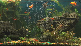 Fish into aquarium in form of ancient sunken ship. Red fish into aquarium in a form of the ancient sunken ship. Close-up stock video footage