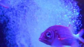 Fish in the aquarium full screen.  stock footage