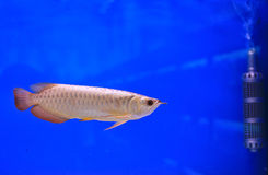 Fish. In the aquarium glass Royalty Free Stock Images