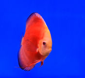 Fish. In the aquarium glass Royalty Free Stock Photo