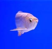 Fish. In the aquarium glass Royalty Free Stock Photo