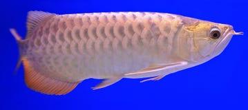 Fish. In the aquarium glass Royalty Free Stock Image
