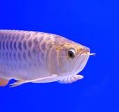 Fish. In the aquarium glass Royalty Free Stock Photos