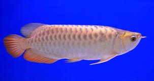 Fish. In the aquarium glass Stock Photos