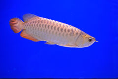 Fish. In the aquarium glass Royalty Free Stock Photography