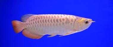 Fish. In the aquarium glass Stock Image