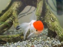 Fish in aquarium Royalty Free Stock Photography