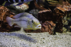 Fish in an aquarium. Grey fish in an aquarium royalty free stock image