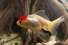 Fish in an aquarium Stock Photos