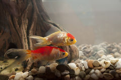 Fish in an aquarium Royalty Free Stock Image