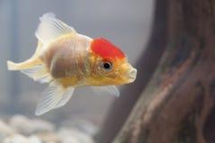 Fish in an aquarium Stock Images