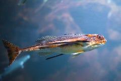 Fish in aquarium with illumination. Close-up view royalty free stock photo