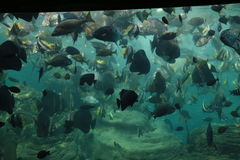 Fish in an Aquarium Royalty Free Stock Photography
