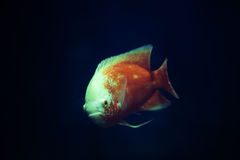A fish in the aquarium. Looked at us Royalty Free Stock Photos