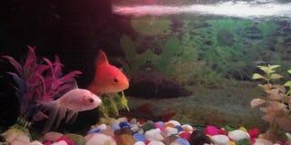 Fish aquarium love each other stock image