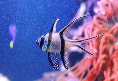 Fish in aquarium. Macro shot of exotic fish stock photo