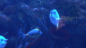 Fish in the aquarium. Many beautiful colorful fish. Background stock footage