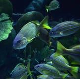 Fish in aquarium Stock Images