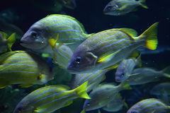 Fish in aquarium. Many fish on Underwater aquarium Royalty Free Stock Photos