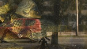Fish in the aquarium fish market with street glare on the glass. A lot of fish in the water can be seen through the glass of the fisherman`s pool, and in the stock video footage