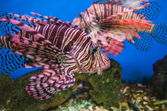 Fish in an aquarium in the National Oceanographic Museum of Viet Royalty Free Stock Images