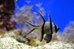 Fish in aquarium Royalty Free Stock Photo