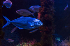 A fish in aquarium Stock Photography