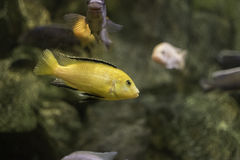 Fish in an aquarium. Orange fish in an aquarium stock images