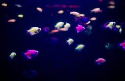 Fish in the Aquarium Ornatus stock photos