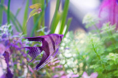 Fish in aquarium Stock Photography