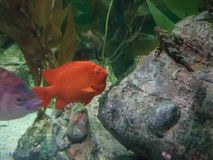 Fish in aquarium reef royalty free stock photography