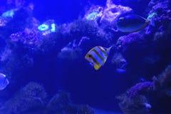 Fish in the aquarium. royalty free stock image