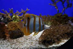 Fish in an aquarium. It's a one of fishes in an aquarium of Monaco's Museum of Oceanography; May 2015 stock photography
