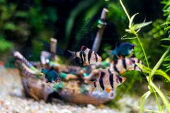 Fish in aquarium Royalty Free Stock Photography
