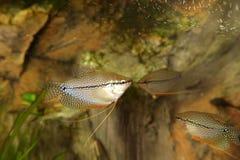 Fish in the aquarium Stock Photos