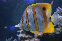 Fish in aquarium Royalty Free Stock Images