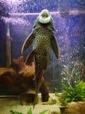 Fish. Plecostomus, pleco. stock photo