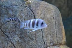 Fish in aquarium Stock Photography